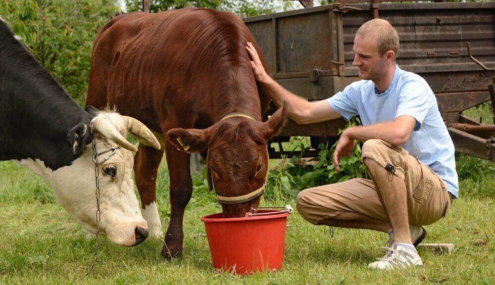 krowa pije